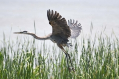 A Heron lifts off from a marsh in Nova Scotia.
