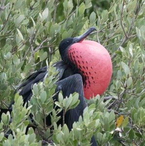 A Magnificent Frigatebird in its breeding grounds in Mexico
