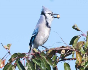 A Blue Jay picks a berry for dinner