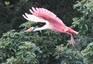 Photo of Roseate Spoonbill in flight