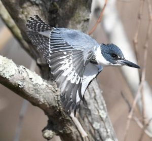 A Belted Kingfisher takes off near Washington, D.C.