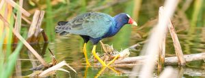 A Purple Gallinule forages near Viera, Florida