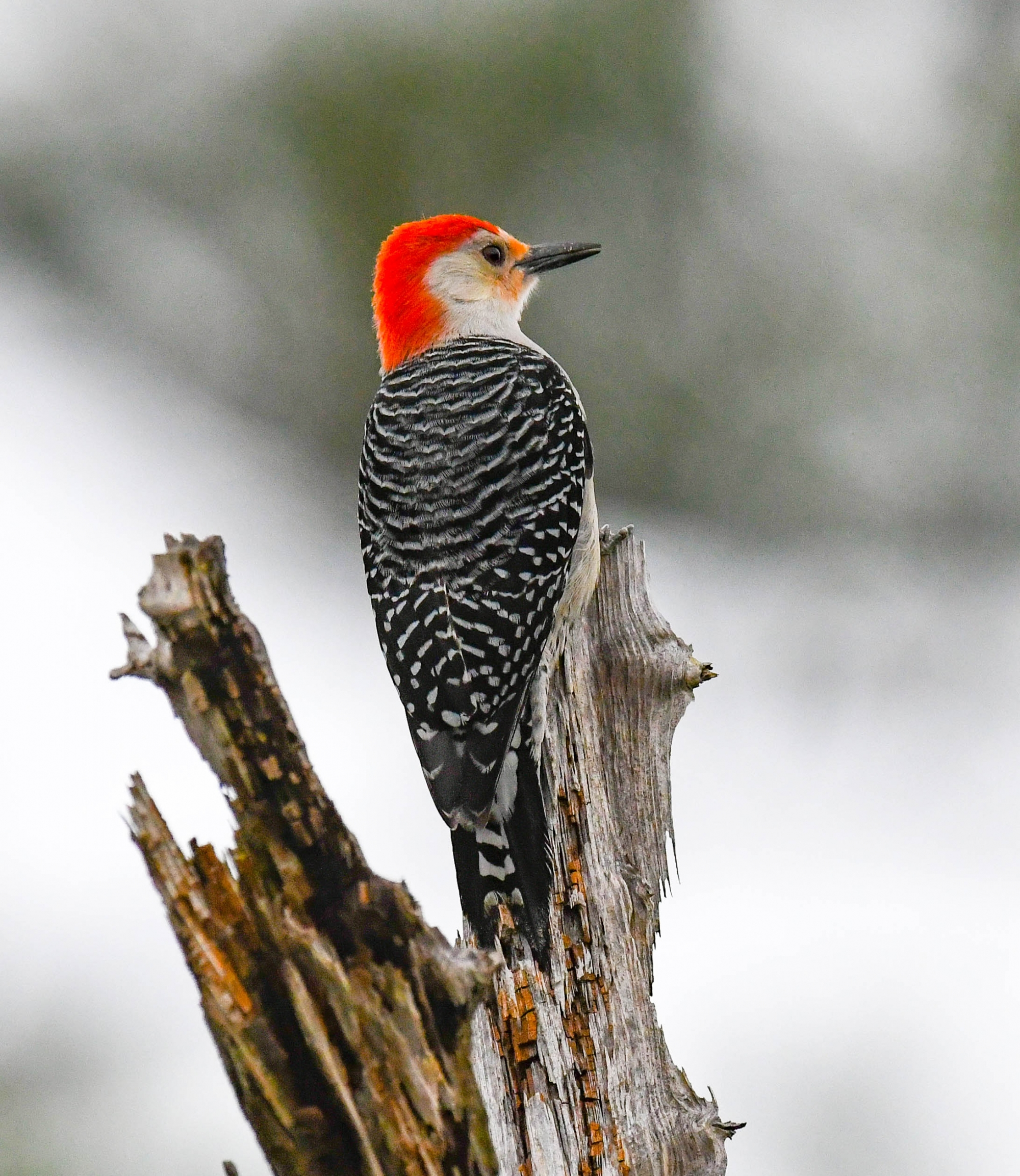 A Red-bellied Woodpecker surveys its territory