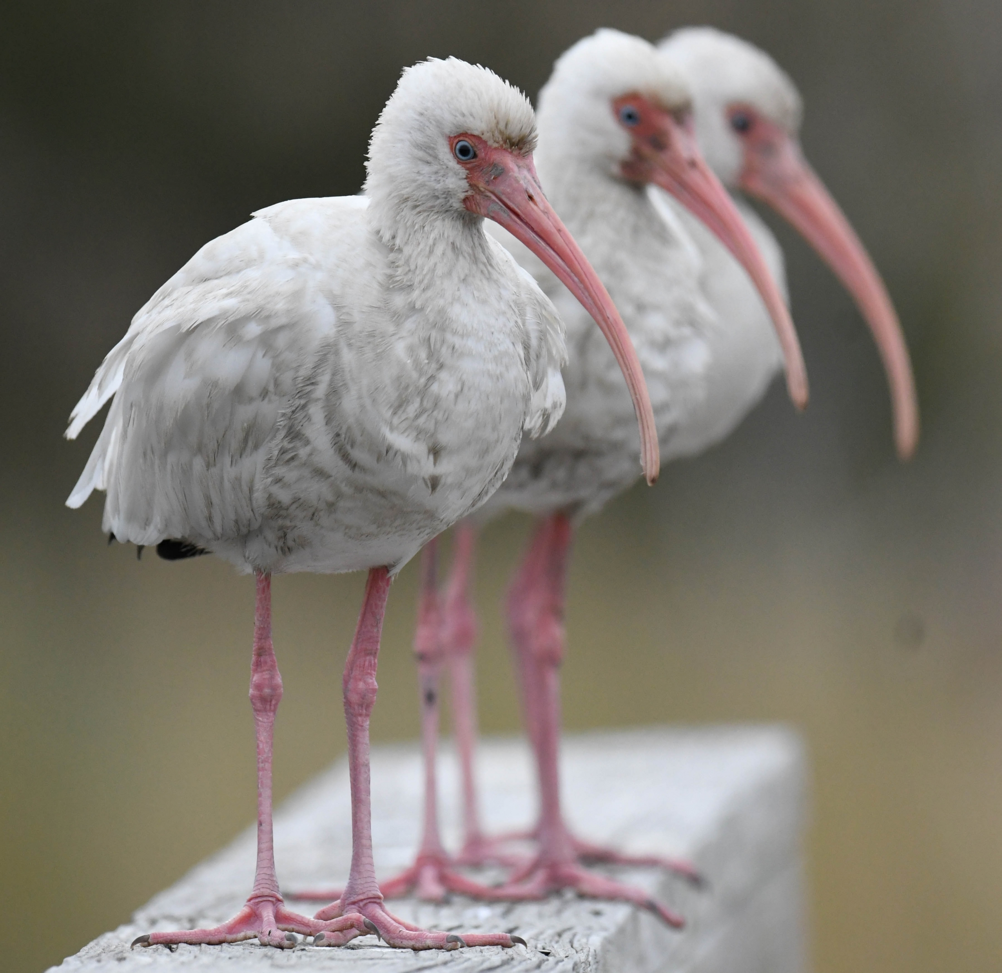 A trio of White Ibis hang out on Jekyll Island, Ga.