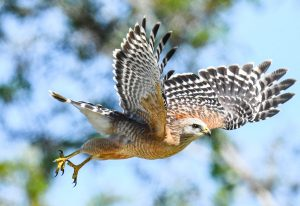 A Red-shouldered Hawk goes on attack near Orlando, Florida