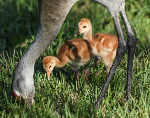 Sandhill Crane chicks stick close to their mother