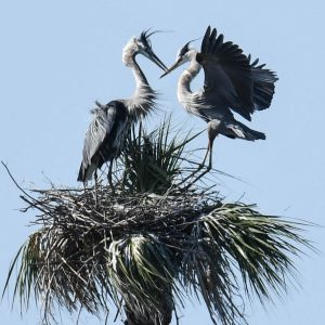 Two Great Blue Herons meet at their nest near Viera, Florida
