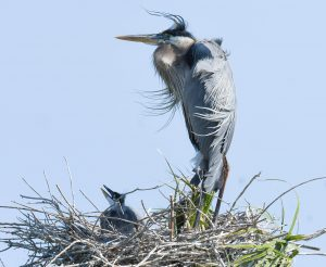 A Great Blue Heron watches over her chicks near Viera, Florida