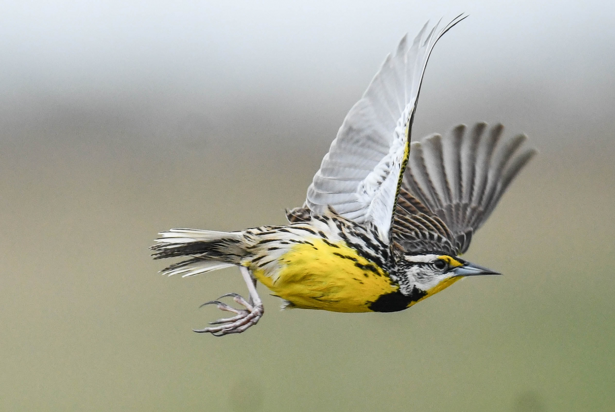 A speedy Meadowlark near Lake Kissimmee, Florida