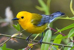 Prothonotary Warbler: the golden bird of springtime