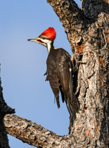 https://flyinglessons.us/2021/03/24/its-a-bird-eat-bird-world-pileated-woodpeckers-part-2/